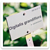 Digitalis - a plant *and* a Monolake track